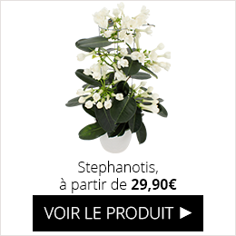 Stephanotis