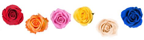 Rose rouge, orange, rose, jaune, pastel, bleue