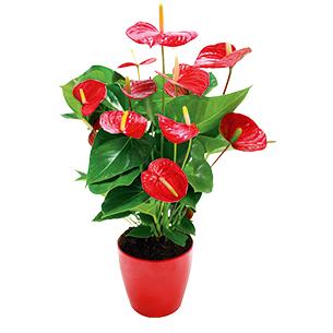 Plantes vertes et fleuries Anthurium rouge Anniversaire
