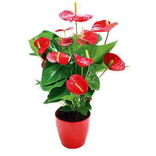 Plantes vertes et fleuries Anthurium rouge
