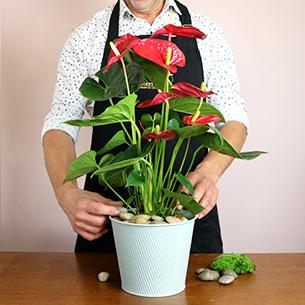 Plantes vertes et fleuries Anthurium Collection Hommes