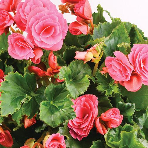 Plantes vertes et fleuries Bégonia rose