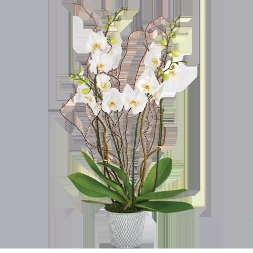 Plantes vertes et fleuries Bianca