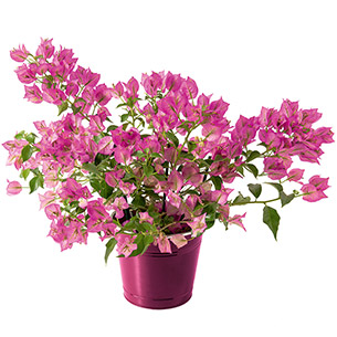 Plantes vertes et fleuries Bougainvillier
