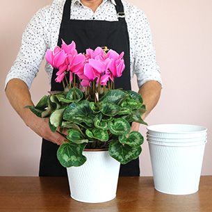 Plantes vertes et fleuries Cyclamen rose Collection Hommes