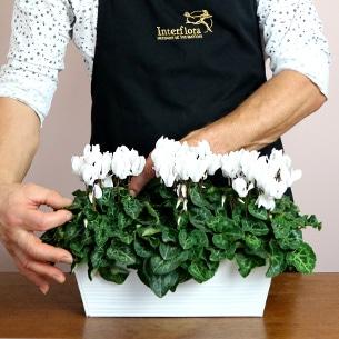 Plantes vertes et fleuries Cyclamens blancs Collection Hommes