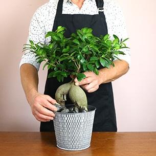Plantes vertes et fleuries Ficus ginseng Remerciements