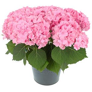 Plantes vertes et fleuries Hortensia Fête des Mères