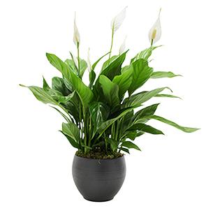 Plantes vertes et fleuries Spatiphyllum Collection Hommes
