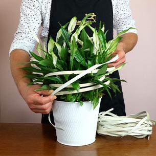 Plantes vertes et fleuries Spathiphyllum Remerciements