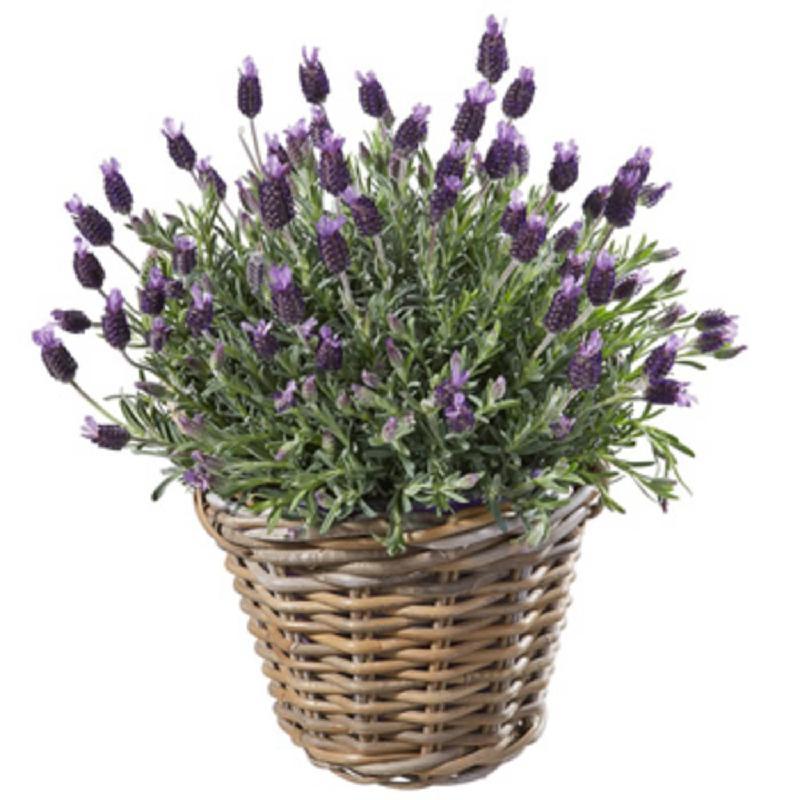 Bouquet de fleurs A basket of lavender