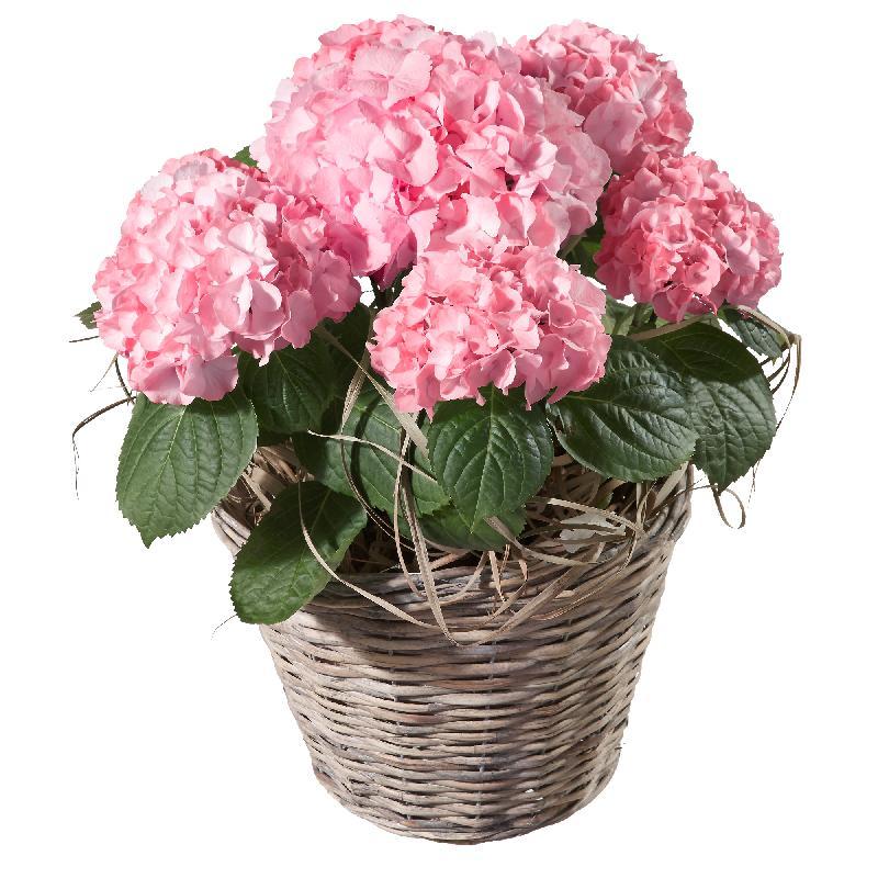 Bouquet de fleurs Hydrangea (pink)