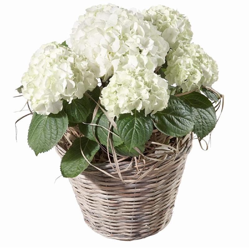 Bouquet de fleurs Hydrangea (white)