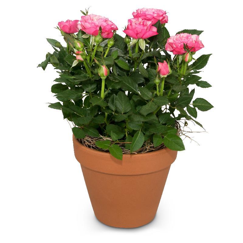 Bouquet de fleurs Loving surprise (rose plant)