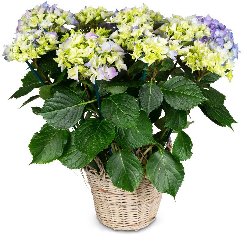Bouquet de fleurs Vintage Charm (blue hydrangea)