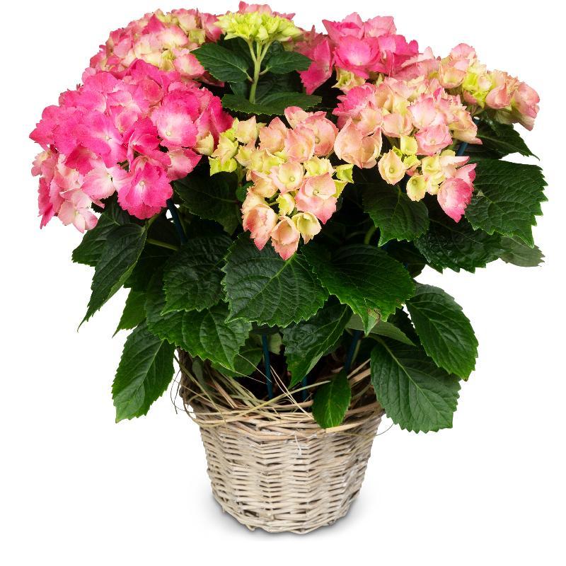 Bouquet de fleurs Vintage Charm (pink hydrangea)