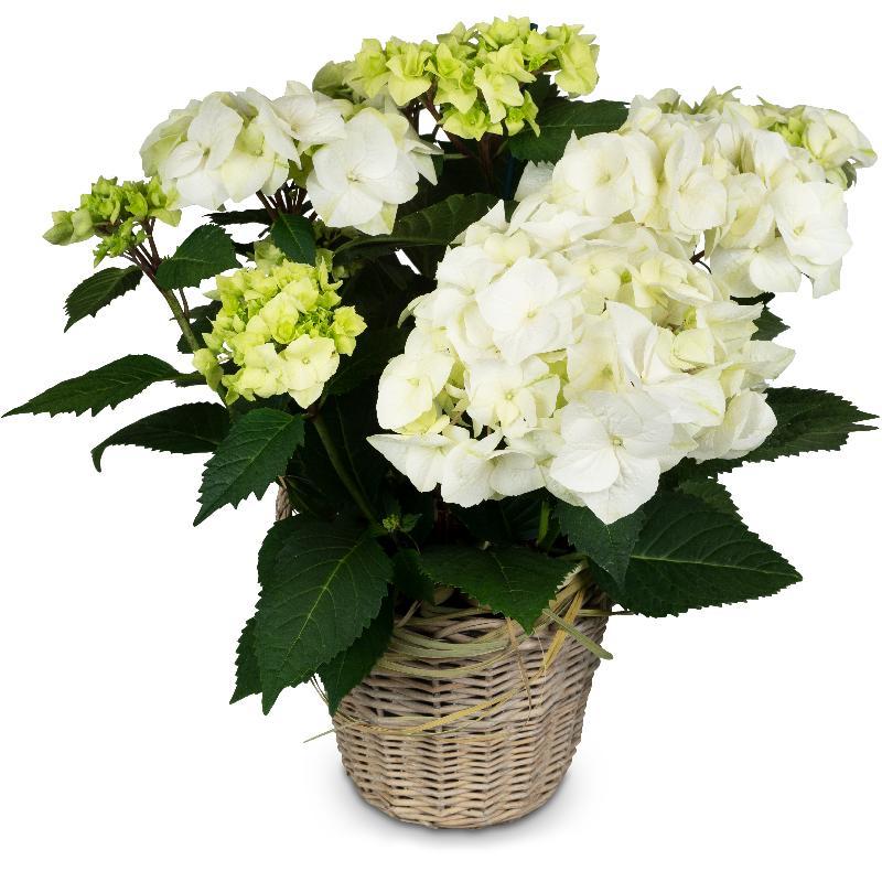 Bouquet de fleurs Vintage Charm (white hydrangea)
