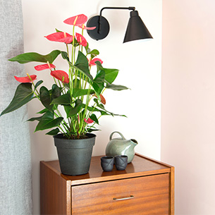 Plantes vertes et fleuries Anthurium Anniversaire