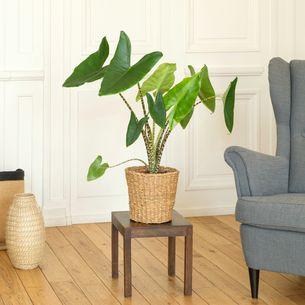 Plantes vertes et fleuries Alocasia Zebrina Code Promo