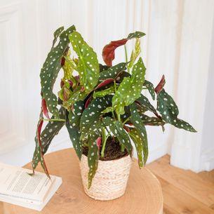 Plantes vertes et fleuries Begonia Maculata