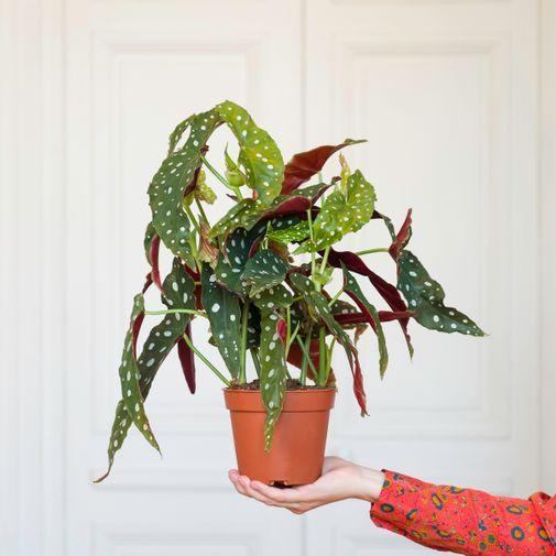 Plantes vertes et fleuries Begonia Maculata et son arrosoir doré
