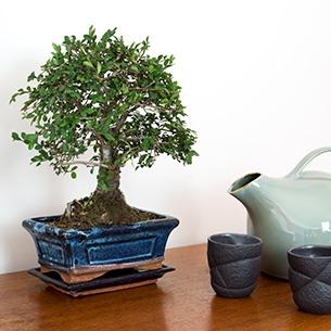 Plantes vertes et fleuries Bonsai Zelkova Parvifolia Remerciements