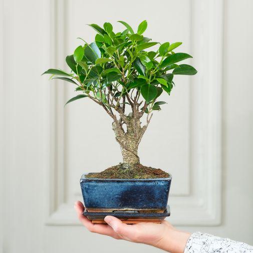 Plantes vertes et fleuries Bonsaï Ficus 5 ans d'âge