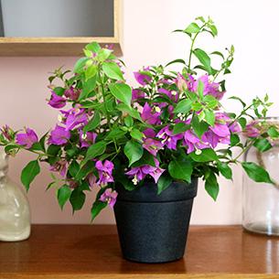 Plantes vertes et fleuries Bougainvillea Remerciements