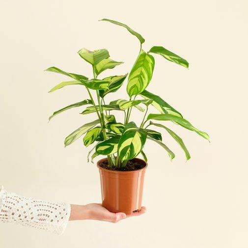 Plantes vertes et fleuries Calathea Gold
