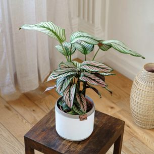 Plantes vertes et fleuries Calathea Majestica White Star