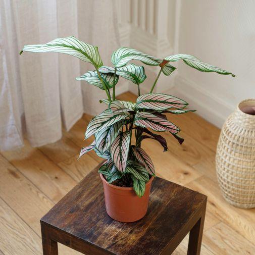 Plantes vertes et fleuries Calathea Majestica White Star et son vaporisateur