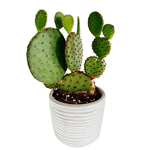 Plantes vertes et fleuries Cactus raquettes - 30 cm Collection Hommes