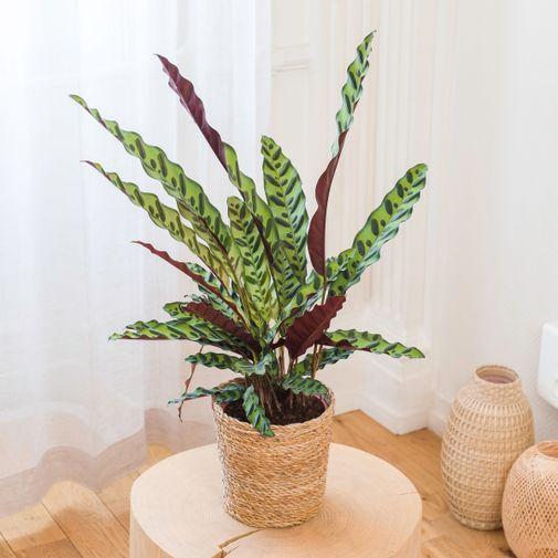 Plantes vertes et fleuries Calathea Rattlesnake