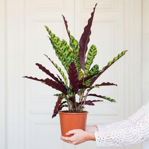 Plantes vertes et fleuries Calathea Rattlesnake et son vaporisateur
