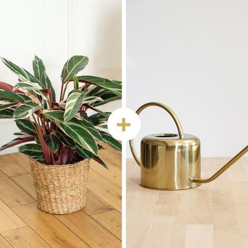 Plantes vertes et fleuries Calathea Triostar et son arrosoir doré