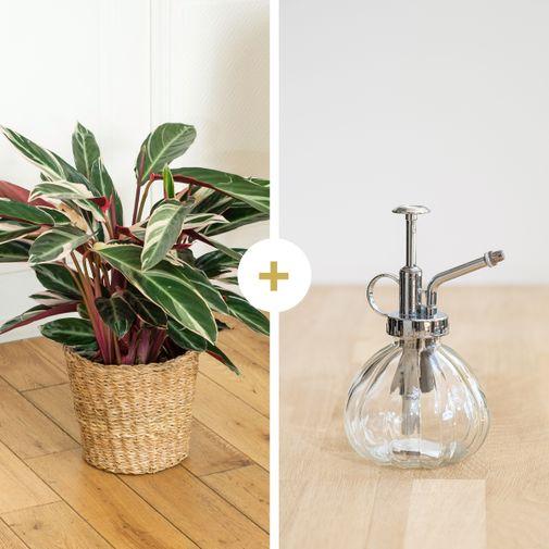 Plantes vertes et fleuries Calathea Triostar et son vaporisateur