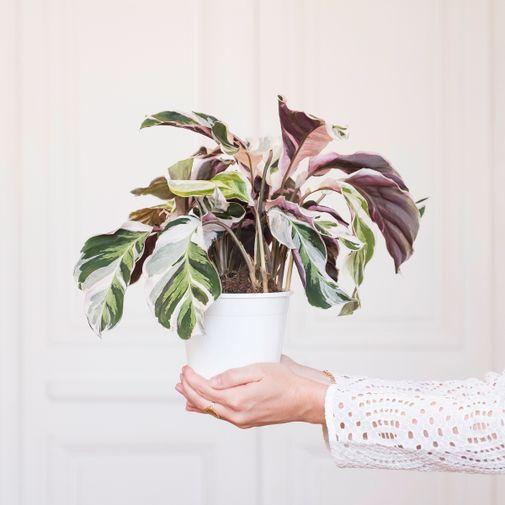 Plantes vertes et fleuries Calathea White Fusion