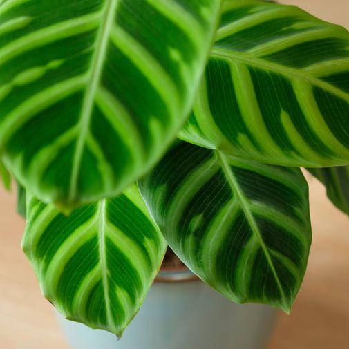 Plantes vertes et fleuries Calathea Zebrina