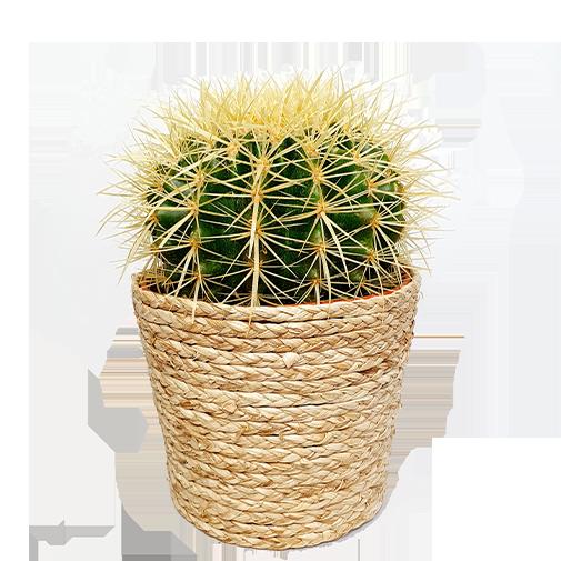 Plantes vertes et fleuries Cactus - 20 cm