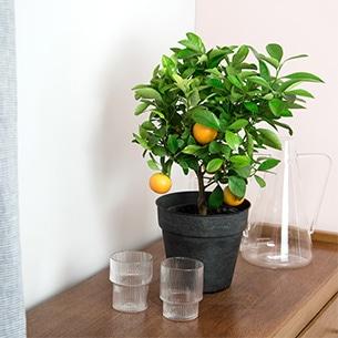 Plantes vertes et fleuries Calamondin Remerciements