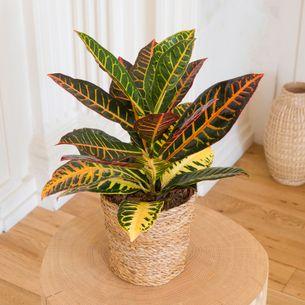 Plantes vertes et fleuries Croton
