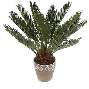 Plantes vertes et fleuries Cycas Collection Hommes