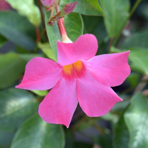 Bouquet de fleurs Dipladénia et son cache pot