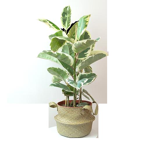 Plantes vertes et fleuries Ficus elastica