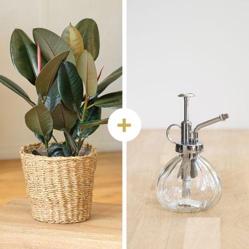 Plantes vertes et fleuries Ficus Elastica Abidjan et son vaporisateur