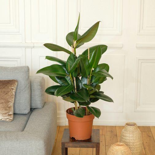 Plantes vertes et fleuries Ficus Elastica Robusta