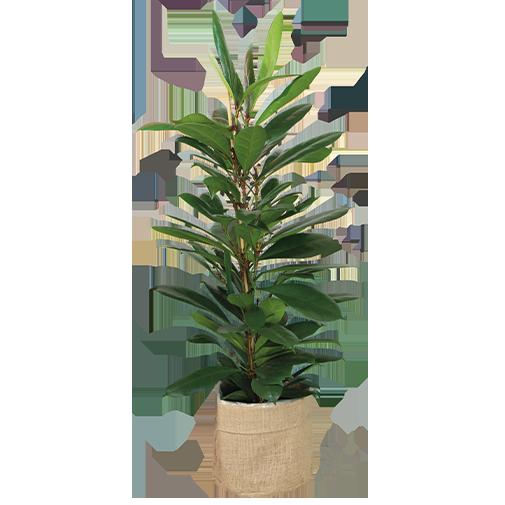 Plantes vertes et fleuries Ficus Cyathistipula