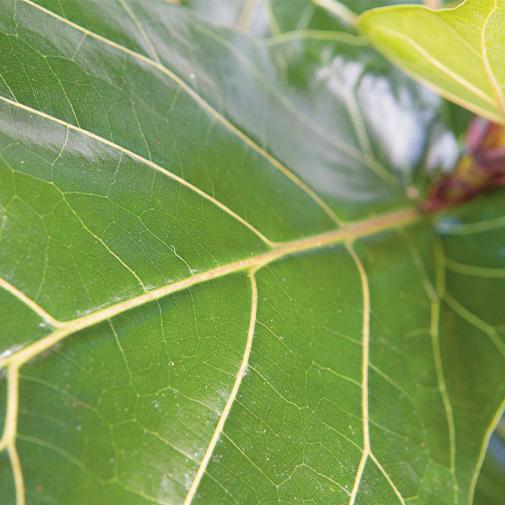 Plantes vertes et fleuries Ficus Lyrata