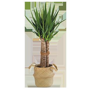Plantes vertes et fleuries Yucca Collection Homme Trendy