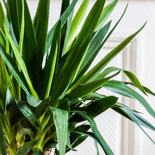 Plantes vertes et fleuries Yucca
